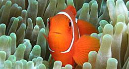clownfish-hm